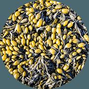Een rondje gevuld met blaaswier - geel met paarse pitjes met wit steeltje