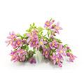 Duizendguldenkruid - takjes met paarse met gele bloementjes