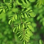 Focus op een moringa steel van de boom met op de achtergrond meer van deze takken