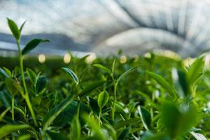 Een veld met groene thee planten die vol aan het bloeien zijn