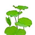Lotus Bladeren